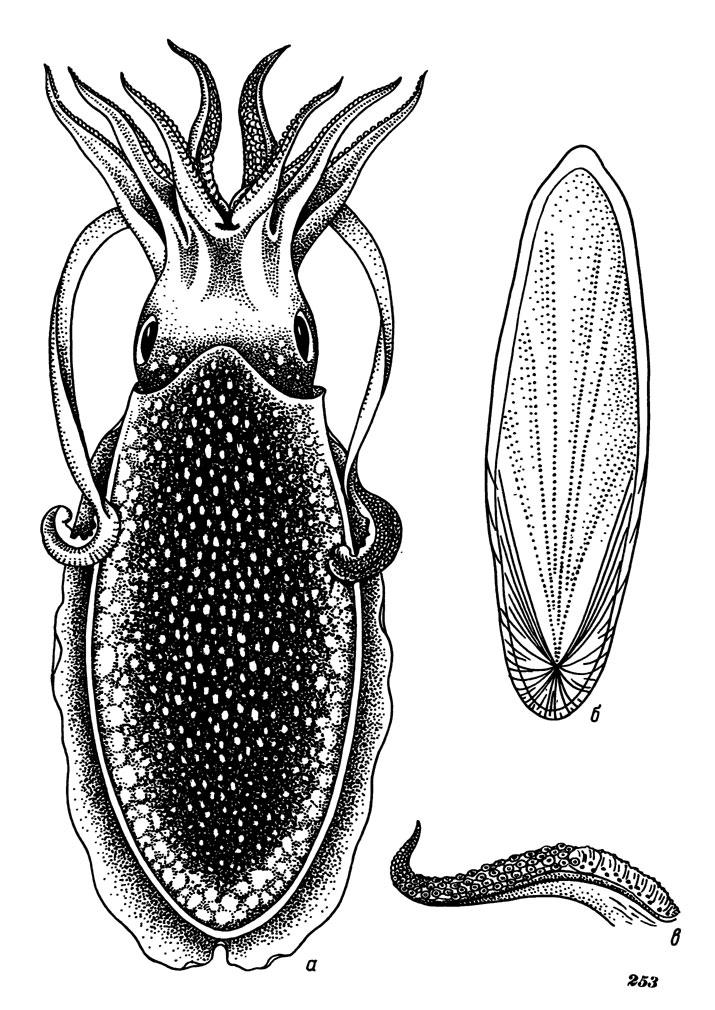 Сепиолиды